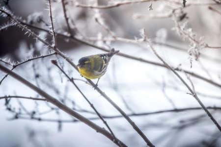 Bird is sitting on a tree branch in the winter Standard-Bild