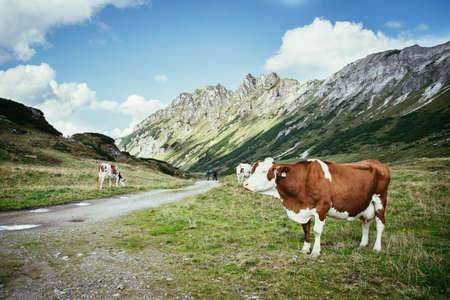 Cows are grazing in the alpine meadow, mountain chain in the background