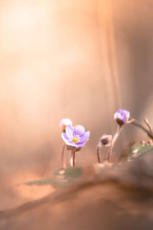 Purple hepatica flowers on the ground, spring time, text space Standard-Bild