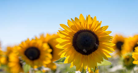 Blooming yellow sunflower blossom with bees and blue sky, summer time Standard-Bild