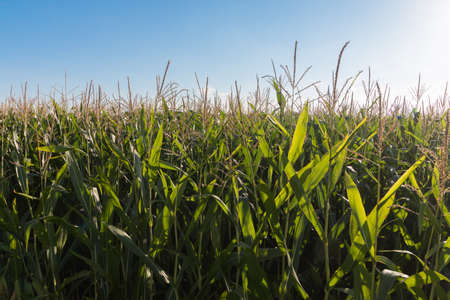 Grain growing on a field, blue sky and sunshine Archivio Fotografico