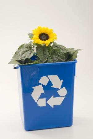 recycle bin: Girasol que crece en un contenedor azul de reciclaje fondo blanco