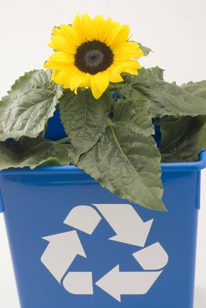 Sunflower growing in a blue recycling bin  White background Stock Photo - 15800700