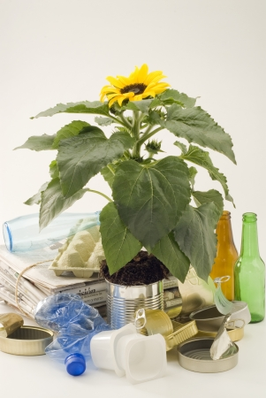 Sunflower growing in an aluminum recycled can  White background  Stock Photo - 15800743