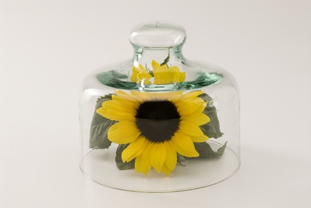 go inside: Sunflower growing in a glass bell jar  White background