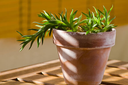 houseplant: Phototropism. Houseplant growing towards sunlight on a terrace. Selective focus.