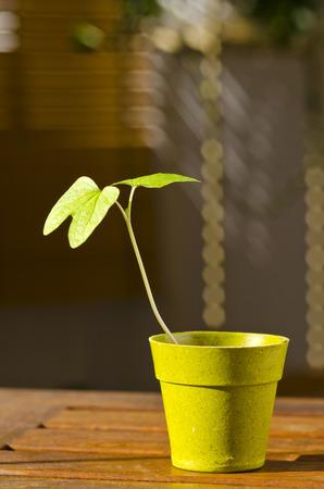 Phototropismus. Zimmerpflanze wachsen in Richtung Sonne auf der Terrasse. Selektiver Fokus.