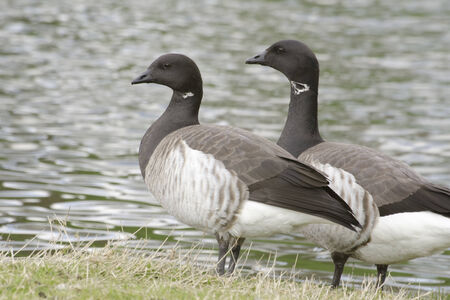 brent: Brent geese standing beside lake  Stock Photo