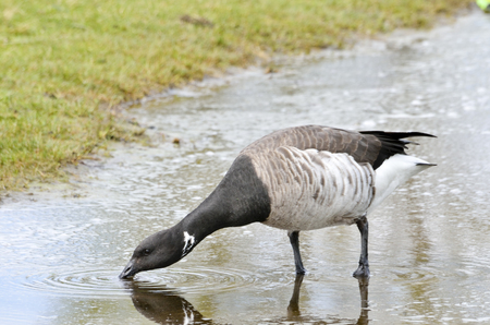 brent: Brent goose drinking from a puddle of water. Stock Photo