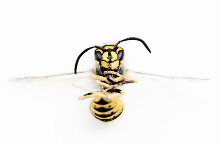 Macro photograph of a wasp