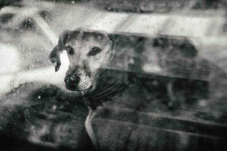 domesticated: Dog looking outside a car window