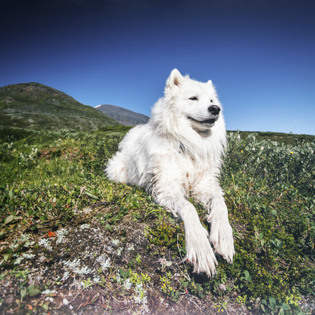 Relaxed dog in the lapland mountains, Sweden Imagens