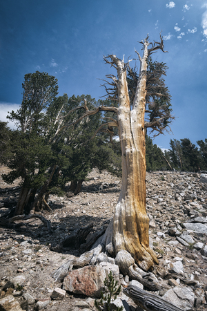 high sierra: Old tree in the Sierra Nevada mountains Stock Photo