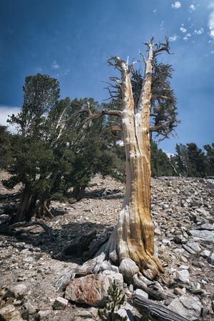 john muir wilderness: Old tree in the Sierra Nevada mountains Stock Photo