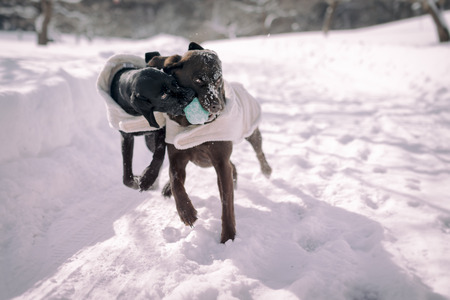 perros jugando: Dos perros jugando en la nieve