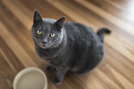 grey cat: Portrait of a 10-year old female grey cat