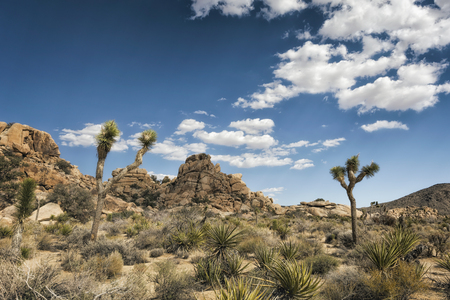 joshua tree national park: Joshua Trees at Joshua Tree National Park, California