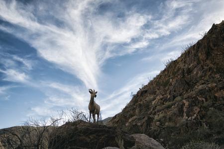 borrego cimarron: Bighorn Sheep in Anza-Borrego State Park, California, USA