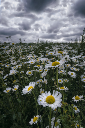 leucanthemum: White flowers (Leucanthemum vulgare, oxeye daisy) in the meadow