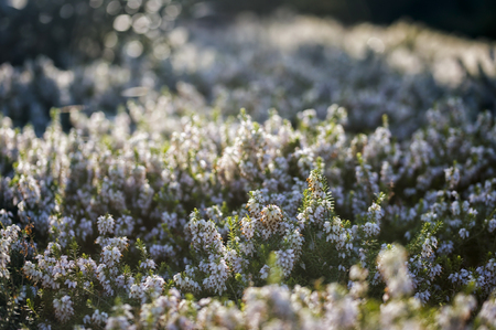 heathland: Morning in the heather fields in Northern Germany