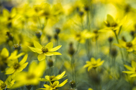 Field of yellow flowers with a shallow depth of field Imagens