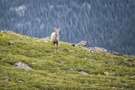 rocky mountain bighorn sheep: Landscape photograph taken in Rocky Mountains National Park, Colorado
