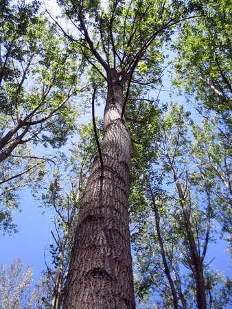 árbol del álamo Foto de archivo - 2202278