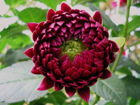 tuberous: Dahlia (magnoliophyta asteraceae)