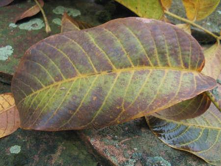 a walnut autumn leaf Stock Photo - 2272490