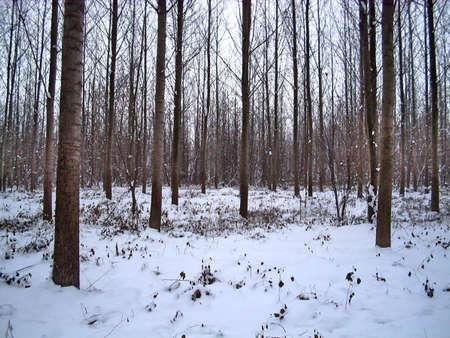 A quiet winter frozen forest.  Stock Photo - 2309618