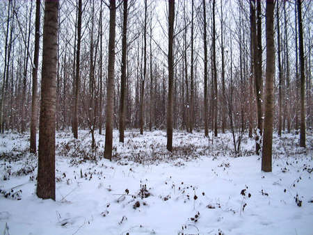 A quiet winter frozen forest. Stock Photo - 2309618