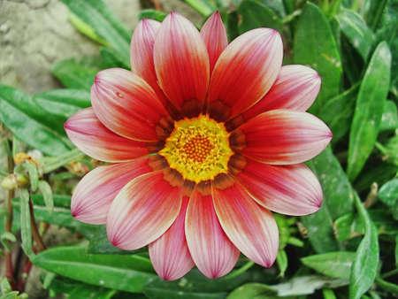 close-up photo of a dahlia in garden photo