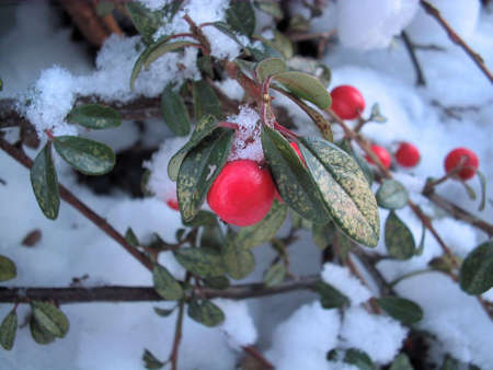 Red winter rosehip berries closeup on background of snow