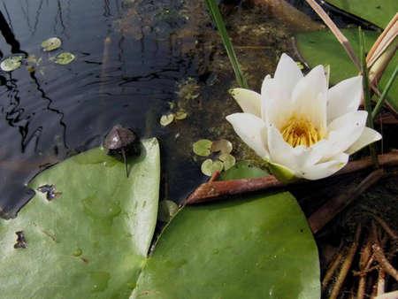 principe rana: waterlilie y pequeña tortuga, pacífica día soleado sobre el lago
