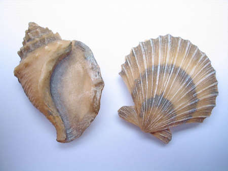 An image of two sea shells on a white background. Reklamní fotografie