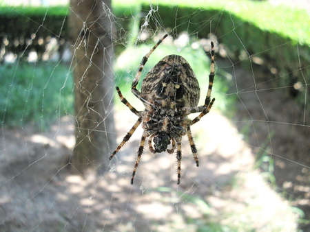 orb weaver: big brown spider in cobweb - big red-brown four spot orb weaver (Araneus quadratus) is a common orb weaver spider found in Europe and Asia. Stock Photo