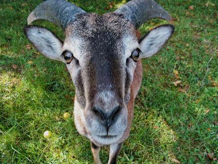 Goat portrait photo