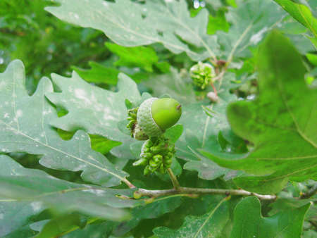 green oak acorn Stock Photo - 3304579