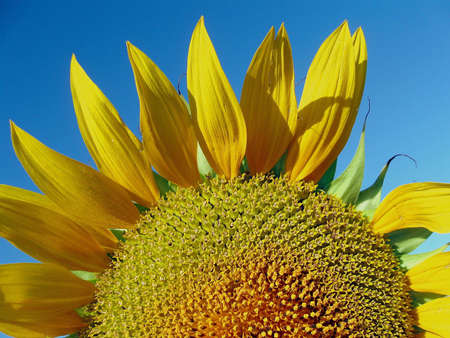 close up of the sunflower with blue sky background