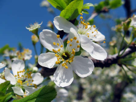 Inflorescence of white colors plums on background of blue sky, early spring