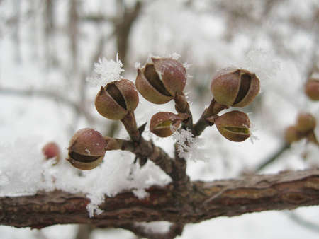 Flower buds covered in icy snow of winter awaiting arrival of spring. photo