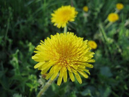 Yellow flower of the Dandelion (Taraxacum officinale) against a dark background. Reklamní fotografie