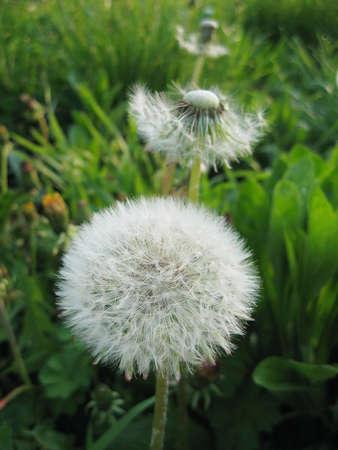 White flower of the Dandelion (Taraxacum officinale) against a dark background.