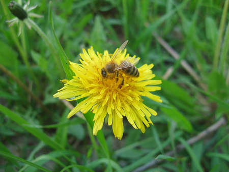 Honey bee working hard on yellow dandelion flower photo