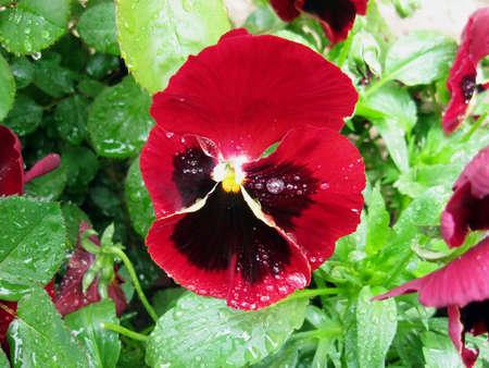 Closeup of red pansy portrait Reklamní fotografie