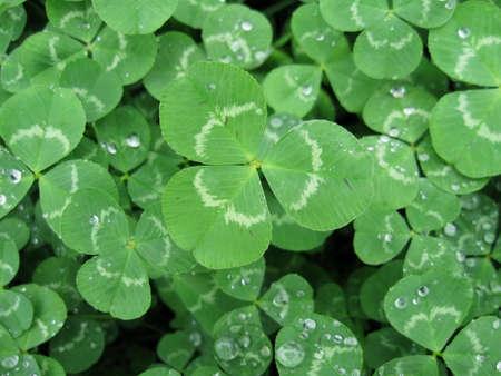 lucky clover: Shamrock Stock Photo