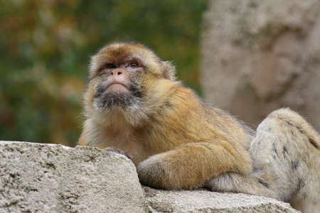 Monkey looking out Stock Photo - 3221537
