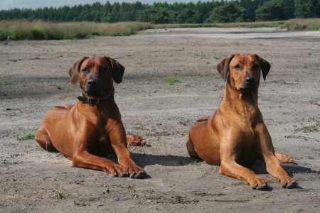 rhodesians: two proud african lion hound dogs