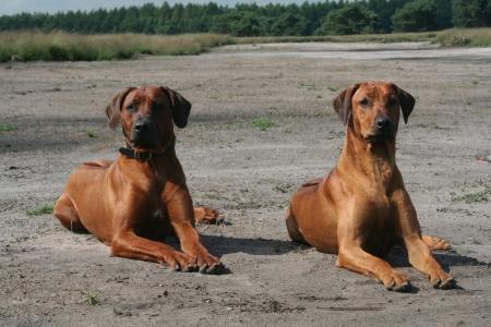 ridgebacks: two proud african lion hound dogs