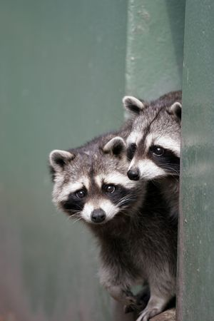 coons: pair of bandits